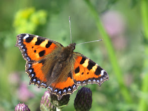 Photo: 26 Jul 13 Priorslee Lake: I know I have done a Small Tortoiseshell before but when they pose like this it is hard to resist. (Ed Wilson)