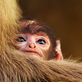 Child monkey by Nandha Kumar - Animals Other ( young monkey, child monkey, monkey )