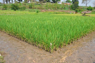 Photo: SRI trial fields at the CARI Research Station in Paynesville Monrovia, Liberia. (Photo by Erika Styger, Feb 2014)