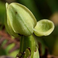 Photo: Ophrys sp (bombyliflora?)