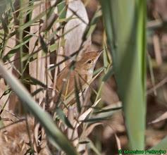 Photo: Cannaiola africana | Acrocephalus baeticatus | African Reed Warbler