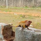 Oriental garden lizard ♂️