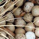 California Quail Eggs