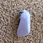 Fall Webworm Moth - Hodges#8140