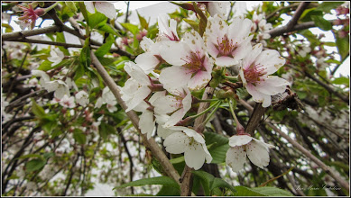 """Photo: Cires pendul (Prunus Avium """"Pendula"""")  - din Piata 1 Decembrie 1918, spatiu verde - 2019.04.06"""