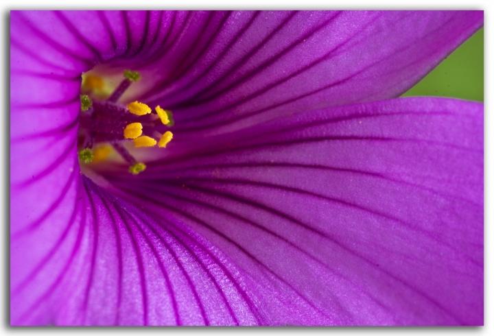 Fiore di trifoglio di robi7857