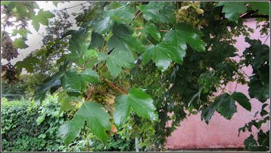 Photo: Arțar, Paltin de munte - (Acer pseudoplatanus) - din Turda, de pe Str. Constructorilor, spatiu verde - 2018.07.08