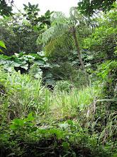 """Photo: Kenmerk van het eerste begin van het herstel van het oerwoud is de groei van boomvarens. Die bestaan al sinds dynosaurus heugenis en kunnen - ook al heten ze """"varen"""" rustig zo'n 10 meter hoog worden"""