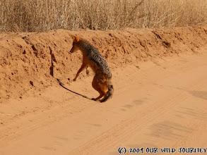 Photo: Šakalí tanec s myší ;o) / Jackal dancing with the mouse ;o)