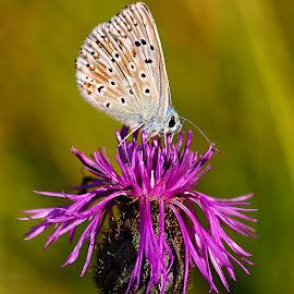 Azurée sur fleur violette by Gérard CHATENET - Animals Insects & Spiders