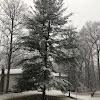 Northern white pine