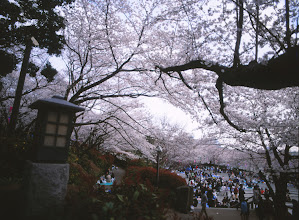 Photo: .  桜 x ベルビア    shot with mamiya645 on velvia50  #japan  #sakura2013  #analogphotography  #filmphotography  #filmisnotdead  #fujifilm  #velvia50  #sakura  #mamiya645  #桜のある風景