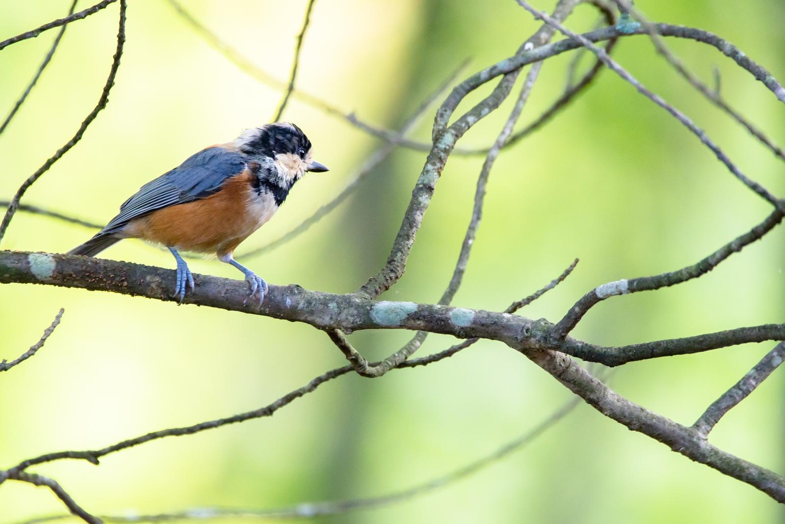 Photo: 呼ぶ声 Calling.  何かが呼んでいる 実りを控える木の実の声 去りゆく緑の声 次に訪れる季節の声  Varied tit. (ヤマガラ)  #birdphotography #birds #cooljapan #kawaii #nikon #sigma  Nikon D7200 SIGMA 150-600mm F5-6.3 DG OS HSM Contemporary