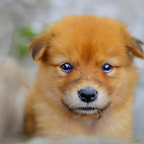 Oh.. Puppy by Kriswanto Ginting's - Animals - Dogs Puppies ( dog portrait, puppie, puppy, dog, portrait,  )