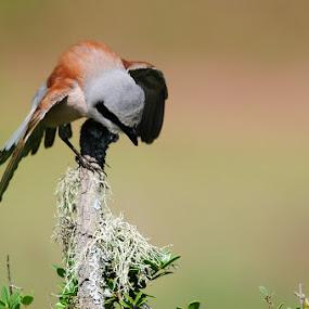 Red-backed shrike by Adem Yağız - Animals Birds ( bird, red-backed shrike, animal )
