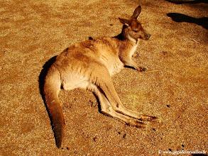 """Photo: 020-Kangourou au """"Featherdale Wildlife Park"""""""