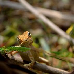 Oriental Garden lizard by Bhanu Prakash - Animals Reptiles ( garden lizard )