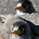 Noisy Miners (fledged siblings)