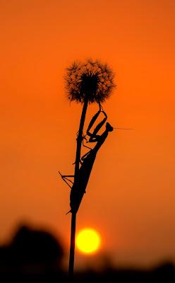 Mantis di nidinola