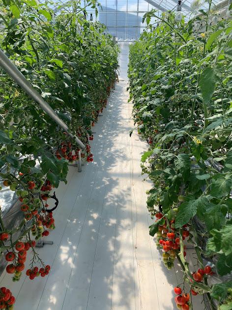 温室ハウスのトマト