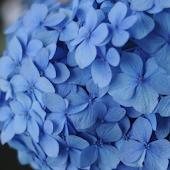 青色や水色の紫陽花の壁紙 無料版 Free