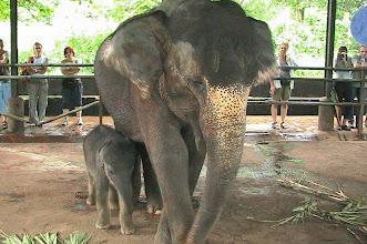 Photo: #005-Sri Lanka. Eléphanteau et sa mère à Pinnawela