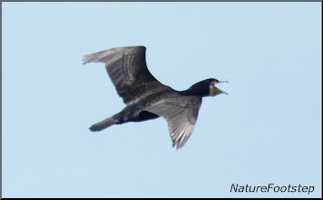 Photo: Storskarv - Phalacrocorax carbo - Great Cormorant