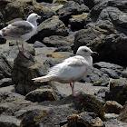 Leucistic Western Gull