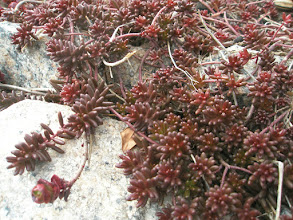 Photo: Sedum album f. Atropurpureum