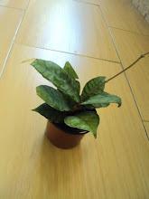 Photo: Hoya callistophyla