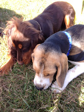 Photo: Awh cute! Mack Cocker and Buddy Beagle. What have you found boys?