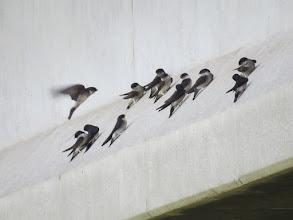 Photo: 撮影者:若狭誠 イワツバメ タイトル:イワツバメの巣立ち雛 観察年月日:12015年6月1日 羽数:12羽 場所:浅川・浅川大橋 区分:行動 メッシュ:八王子7K コメント:浅川大橋にあるイワツバメのコロニーでヒナが巣立っています。少し飛んでは橋げたの傾斜部分で休んでいるようですが、集団になっています。下流の大和田橋では近くの電線にヒナが並びますが、浅川大橋では集団で橋げたにとまるようです。