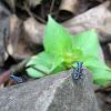 Azure tiger beetle