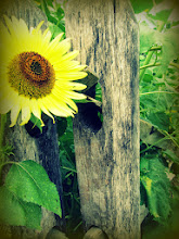 Photo: Old-fashioned photo of a sunflower by an old, wooden fence at Cox Arboretum and Gardens of the Five Rivers Metroparks in Dayton, Ohio.