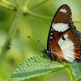 Common butterfly by Sid Yadav - Animals Insects & Spiders ( butterfly, tamron 70-300mm, canon600d, outdoor, 600d, insects )