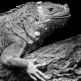 Madame iguane mue by Gérard CHATENET - Black & White Animals