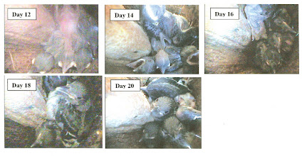 Photo: Part 2 of Red-headed Woodpecker nestling growth sequence, courtesy of Lisa Bate