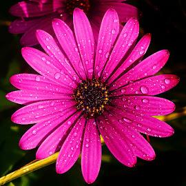 Corolle rouge by Gérard CHATENET - Flowers Single Flower