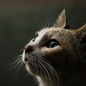 The Gaze... by Kamelia Dandapat - Animals - Cats Portraits ( look, natural light, face, cat, beautiful, gaze, blue eyes, portrait, animal,  )