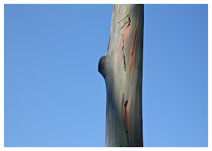 Photo: Eucalyptus Tree  I love the colours on the tree but the best thing for me in this shot is the crystal clear blue sky in the background. No colour alteration, this is how it looked.