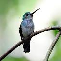 Amazilia amable (Blue-chested hummingbird)