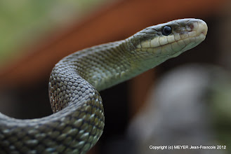 Photo: Hodgson snake