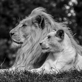 On watch by Garry Chisholm - Black & White Animals ( lion, nature, kent, garrychisholm, smarden, big cat sanctuary, cub,  )