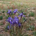 Iris,lirio