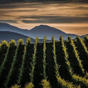 vineyards by Frans Scherpenisse - Landscapes Mountains & Hills ( wine, hills, mountains, italia, vineyards, sunset, verdicchio, italy )