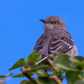 Mockingbird by Dave Lipchen - Digital Art Animals ( digital, mockingbird )