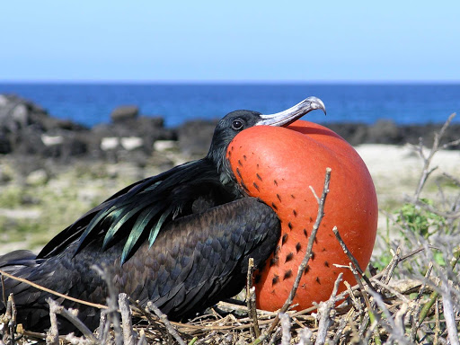 Galapagos-frigate-bird - A frigate bird gets a little puffed up in the Galápagos.