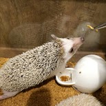 feeding time at hedgehog cafe HARRY in Tokyo in Tokyo, Tokyo, Japan