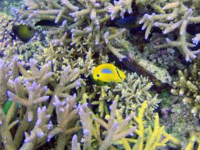 Photo: Chaetodon plebeius (Blue-spot Butterflyfish), Naigani Island, Fiji