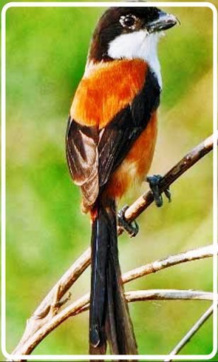 Kicau Burung Cendet Terbaik